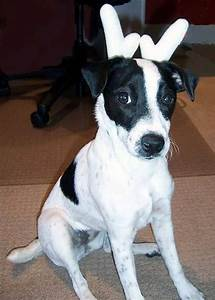 1000+ images about Jack Russell Dogs/Mixes on Pinterest ...