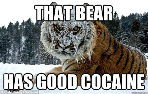 Bear Cocaine Meme - that bear has good cocaine misc quickmeme