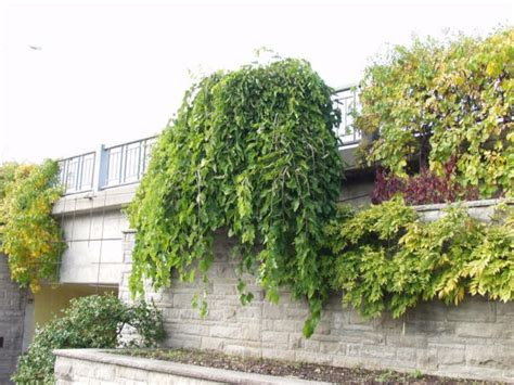weeping mulberry tree care mulberry chaparral fruitless weeping thetreefarm com
