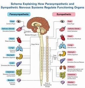 The Autonomic Nervous System Divide  Parasympathetic And
