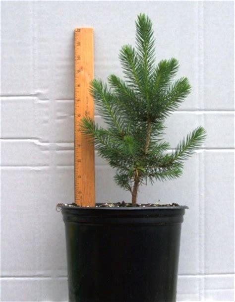foot tall blue spruce    gallon pot