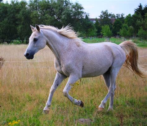 horse arabian pferde pferd schimmel galopp cheval cost mold pixabay sommer gallop cavallo fastest horses pied sur expensive comment weide