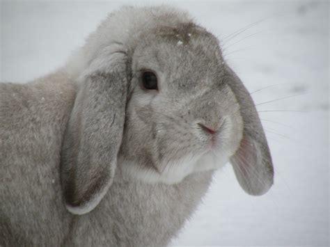 lop rabbit mini lop rabbits usa rabbit breeders
