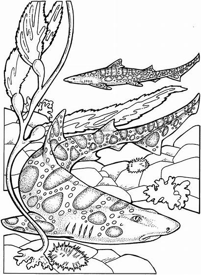 Shark Coloring Pages Tiger Animals Wildlife Ocean