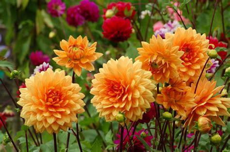 Herbst Blume Im Garten by Dahlien 187 Pflanzen Pflegen Schneiden D 252 Ngen Und Mehr