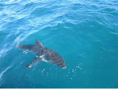 Are great white sharks...