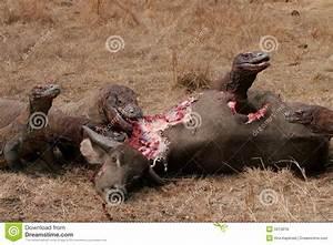 Komodo Dragons Eating Wild Buffalo Royalty Free Stock ...