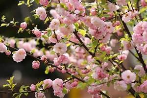 Mittel Gegen Kräuselkrankheit : mandelbaum prunus dulcis essmandel sorten pflanzen ~ Lizthompson.info Haus und Dekorationen