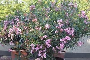 Oleander Im Winter : oleander pflegetipps ~ Orissabook.com Haus und Dekorationen