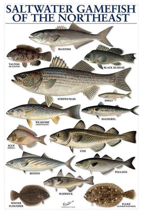 water saltwater gamefish   northeast great