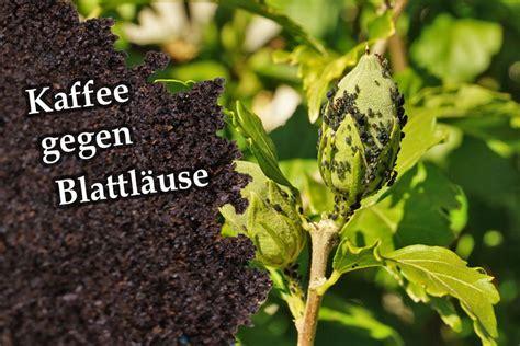 was hilft gegen mäuse im garten hilft kaffeesatz gegen blattl 228 use kaffee gegen l 228 use