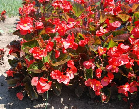 big leaf begonia pictures pin by terri christenson on the great outdoors pinterest