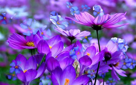 crocuses beautiful purple flowers colored detsktop