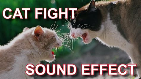 cat fight cats fighting sound effect funnycattv