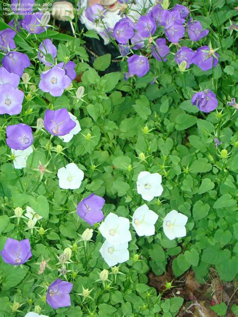 bellflower plant plantfiles pictures canula carpathian bellflower carpathian harebell tussock bellflower