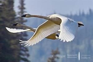 Swan Duet | Bennett Images - Alaska Photographs and Printing
