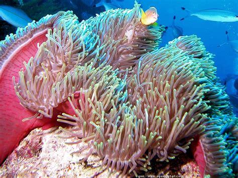 anemone reproduction an 233 mone de mer biologie aquarium reproduction an 233 mone