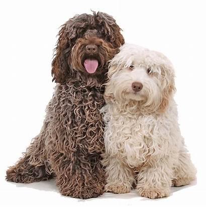 Cockapoo Dogs Dog Cocker Breeds Spaniel Breed