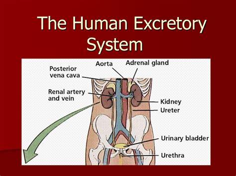 drawing   excretory system human anatomy body