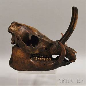 Wild Boar Skull, with articulated jaw bone, teeth and ...