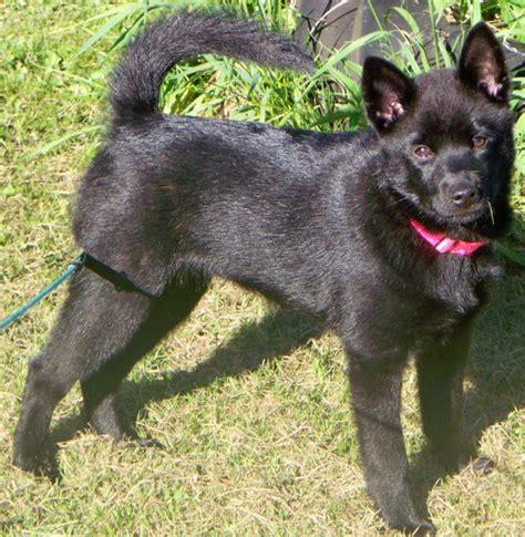 Kai Ken Info Temperament Puppies Pictures