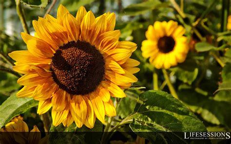 sunflower wallpaper  quotes quotesgram