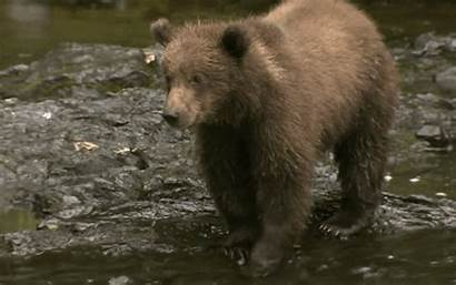 Bear Grizzly Bears Animals Gifs Cub Animated