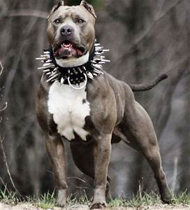 The gallery for --> Pitbull Dogs On Steroids