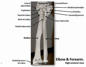 Bones of the elbow and forearm, anterior view with labels ...