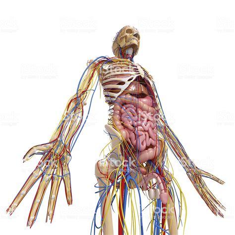 Corpo Umano Con Organi Interni Sistema Circolatorio Corpo Umano Con Tutti Gli Organi