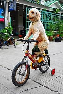 Dog Riding Bike – 1Funny.com