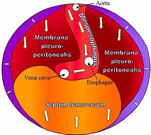 Septum Transversum