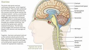 Understanding The Anatomy Of The Nervous System