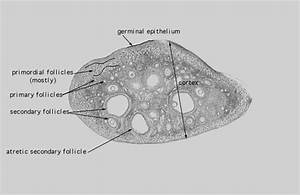 Labeled Ovary Diagram