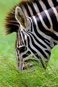 Wild Animals Africa Zebra