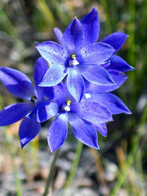 thelymitra wikispecies