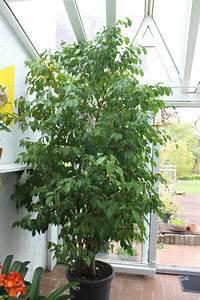 Ficus Benjamini Vermehren : pflanzt pfe neu und gebraucht kaufen bei ~ Lizthompson.info Haus und Dekorationen