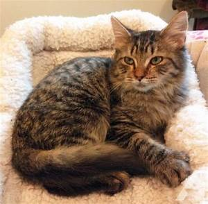 Waylon - Lap Cat Maine Coon Mix DMH Tabby Male Kitten for ...