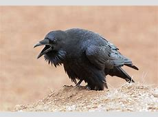 1000+ images about ravens on Pinterest Raven, Raven bird