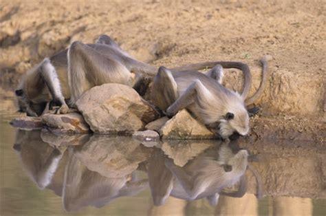 cuisine rennes entelles d 39 hanuman les animaux de l 39 inde 15 photos du