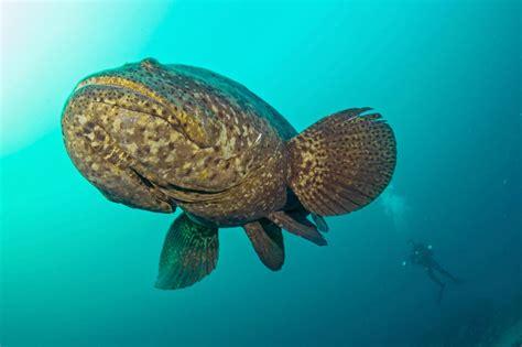 grouper goliath swimming super fish pine island largest florida diver fishing captain