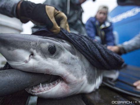 Feeding Frenzy! Watch Sharks Snack On School Of Fish In ...