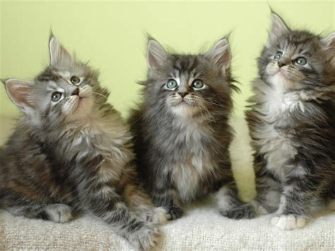 Facts About Maine Coon Cat