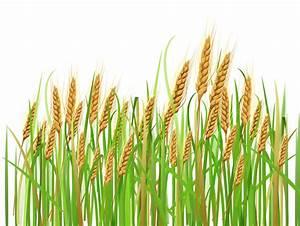 Wheat ear clipart - Clipground