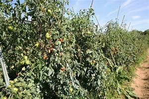 Tomaten Selber Anbauen : tomaten im freiland anpflanzen so gelingt 39 s ~ Orissabook.com Haus und Dekorationen