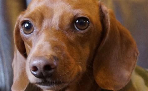 dachshunds  mini doxie