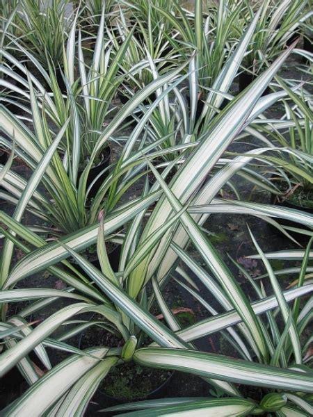 phormium tenax delight neuseelandflachs delight www pflanzenversand de