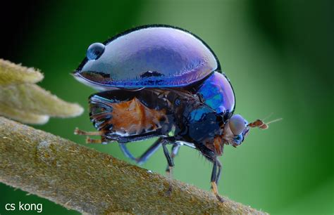 Celyphidae - the beetle-backed fly. These flies evolved a ...