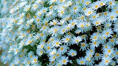 Daisy Chamomile Desktop Backgrounds Flowers Many 1080p