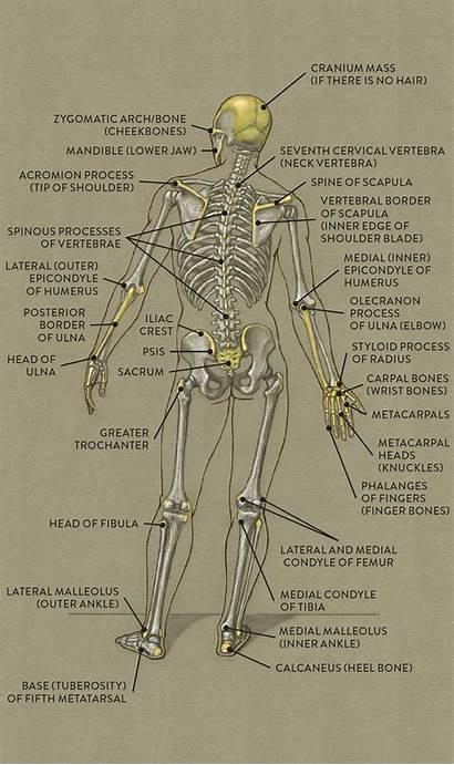 Anatomy Landmarks Figure Human Bony Drawing Biology